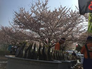 『『『H30.4.1小松川千本桜まつり(2)』の画像』の画像』の画像