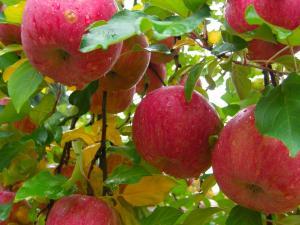 『りんご(1)』の画像