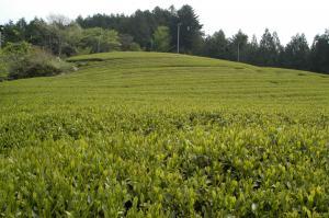 『茶畑』の画像