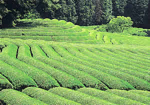 『古内茶の画像』の画像