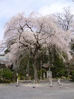 小松寺のしだれ桜