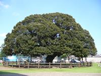 大樹スダジィ ―夏―
