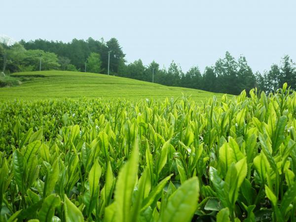 『古内茶』の画像